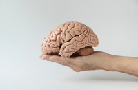 A brain held in a person's hand