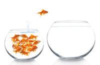 goldfish jumping between aquariums